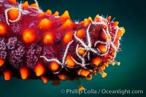 Minute starfish (sea star) living on larger starfish, Sea of Cortez, Mexico, Isla San Diego, Baja California