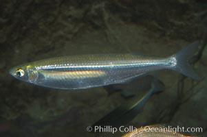 Topsmelt silverside, Atherinops affinis