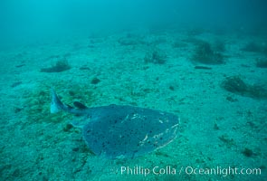 Pacific torpedo ray over sand, Catalina, Torpedo californica, Catalina Island