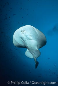 Pacific torpedo ray, Farnsworth Banks. Catalina Island, California, USA, Torpedo californica, natural history stock photograph, photo id 03436