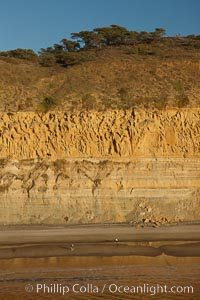 Image 22344, Torrey Pines seacliffs, rising up to 300 feet above the ocean, stretch from Del Mar to La Jolla.  On the mesa atop the bluffs are found Torrey pine trees, one of the rare species of pines in the world. Torrey Pines State Reserve, San Diego, California, USA, Phillip Colla, all rights reserved worldwide. Keywords: above, aerial, aerial photo, beach, bluff, california, cliff, coast, landscape, nature, ocean, outdoors, outside, over, park, reserve, san diego, sandstone, scene, scenic, sea cliffs, shore, state park, state parks, torrey pines, torrey pines state beach, torrey pines state park, torrey pines state reserve, tourism, travel, usa.