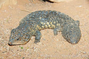 Shingleback lizard.  This lizard has a fat tail shaped like its head, which can fool predators into attacking the wrong end of the shingleback., Trachydosaurus, natural history stock photograph, photo id 12571