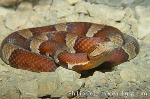 Trans-Pecos copperhead snake.  The Trans-Pecos copperhead is a pit viper found in the Chihuahuan desert of west Texas.  It is found near streams and rivers, wooded areas, logs and woodpiles., Agkistrodon contortrix pictigaster, natural history stock photograph, photo id 12579