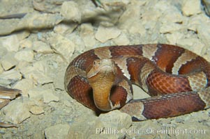 Image 12580, Trans-Pecos copperhead snake.  The Trans-Pecos copperhead is a pit viper found in the Chihuahuan desert of west Texas.  It is found near streams and rivers, wooded areas, logs and woodpiles., Agkistrodon contortrix pictigaster, Phillip Colla, all rights reserved worldwide.   Keywords: agkistrodon contortrix pictigaster:animal:creature:nature:reptile:snake:trans-pecos copperhead snake:wildlife:zoo.