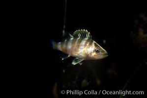 Juvenile rockfish (likely species: treefish) among offshore drift kelp, Sebastes serriceps, San Diego, California