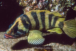 Treefish Sebastes serriceps, San Clemente Island. California, USA, natural history stock photograph, photo id 01932