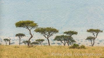 Trees and grass plains, Maasai Mara, Kenya. Maasai Mara National Reserve, Kenya, natural history stock photograph, photo id 29841