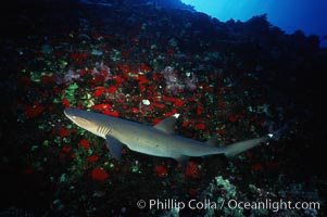 White-tip reef shark, Molokini Island. Maui, Hawaii, USA, Triaenodon obesus, natural history stock photograph, photo id 00317