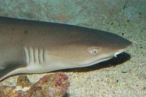 Whitetip reef shark, Triaenodon obesus