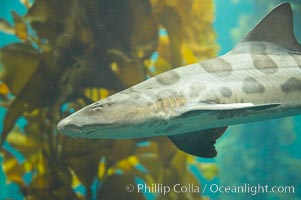 Leopard shark swims through a kelp forest., Triakis semifasciata, natural history stock photograph, photo id 14030