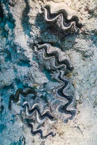 Tridacna clams, Rose Atoll, American Samoa, Rose Atoll National Wildlife Refuge