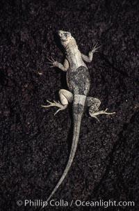 Lava lizard, Punta Espinosa, Tropidurus, Fernandina Island