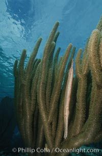 Trumpetfish camouflages itself among the branches of a gorgonian coral (also known as sea rods), Aulostomus maculatus, Plexaurella
