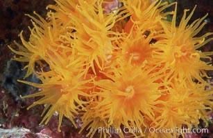 Orange cup coral. Isla Champion, Galapagos Islands, Ecuador, Tubastrea coccinea, natural history stock photograph, photo id 01861