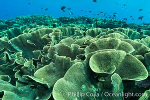 Spectacular display of pristine cabbage coral, Turbinaria reniformis, in Nigali Pass on Gao Island, Fiji. Nigali Passage, Gau Island, Lomaiviti Archipelago, Fiji, Turbinaria reniformis, Cabbage Coral, natural history stock photograph, photo id 31392