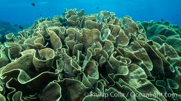 Spectacular display of pristine cabbage coral, Turbinaria reniformis, in Nigali Pass on Gao Island, Fiji. Nigali Passage, Gau Island, Lomaiviti Archipelago, Fiji, Turbinaria reniformis, Cabbage Coral, natural history stock photograph, photo id 31530