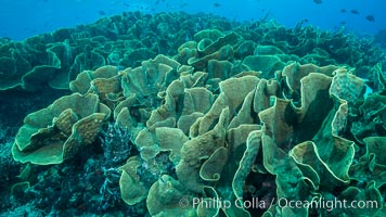 Spectacular display of pristine cabbage coral, Turbinaria reniformis, in Nigali Pass on Gao Island, Fiji. Nigali Passage, Gau Island, Lomaiviti Archipelago, Fiji, Turbinaria reniformis, Cabbage Coral, natural history stock photograph, photo id 31733