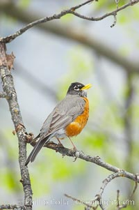 American robin.  Yosemite Valley. Yosemite National Park, California, USA, Turdus migratorius, natural history stock photograph, photo id 12666