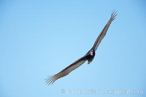 Turkey vulture in flight, Piedras Blancas, San Simeon, California
