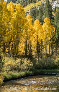 Turning aspen trees in Autumn, South Fork of Bishop Creek Canyon, Sierra Nevada Mountains, California