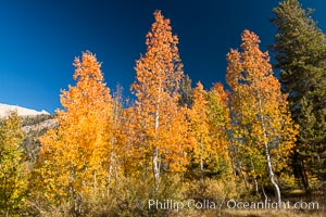 Aspens show fall colors in Mineral King Valley, part of Sequoia National Park in the southern Sierra Nevada, California. Mineral King, Sequoia National Park, California, USA, natural history stock photograph, photo id 32271