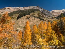 Aspens show fall colors in Mineral King Valley, part of Sequoia National Park in the southern Sierra Nevada, California. Mineral King, Sequoia National Park, California, USA, natural history stock photograph, photo id 32292