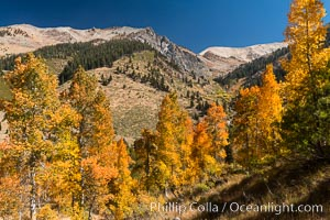 Aspens show fall colors in Mineral King Valley, part of Sequoia National Park in the southern Sierra Nevada, California
