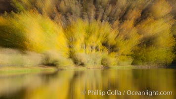 Turning aspens in autumn, reflected in North Lake, Populus tremuloides, Bishop Creek Canyon Sierra Nevada Mountains