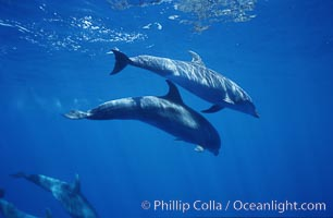 Pacific bottlenose dolphin. Maui, Hawaii, USA, Tursiops truncatus, natural history stock photograph, photo id 00554