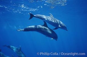 Pacific bottlenose dolphin, Tursiops truncatus, Maui