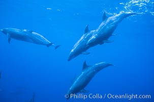 Pacific bottlenose dolphin, Tursiops truncatus, Guadalupe Island (Isla Guadalupe)