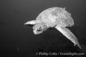 Sea Turtle, underwater, black and white. Wolf Island, Galapagos Islands, Ecuador, natural history stock photograph, photo id 16383