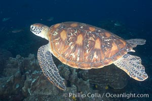 Turtle, Wolf Island