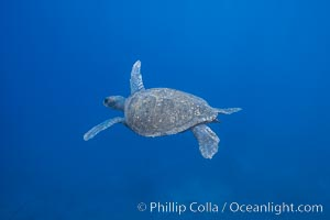 Turtle, Guadalupe Island (Isla Guadalupe)