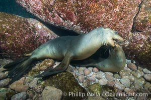 Two sea lions playing, mock jousting, underwater. Sea of Cortez, Baja California, Mexico, Zalophus californianus, natural history stock photograph, photo id 31262