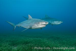 Two tiger sharks. Bahamas, Galeocerdo cuvier, natural history stock photograph, photo id 31891