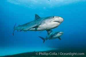 Two tiger sharks. Bahamas, Galeocerdo cuvier, natural history stock photograph, photo id 31892
