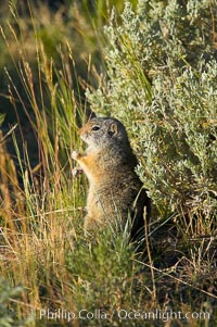 Image 13059, Uinta ground squirrels are borrowers. In the winter these squirrels hibernate, and in the summer they aestivate (become dormant for the summer). Yellowstone National Park, Wyoming, USA, Spermophilus armatus, Phillip Colla, all rights reserved worldwide.   Keywords: animal:creature:mammal:national parks:nature:spermophilus armatus:squirrel:uinta ground squirrel:usa:wildlife:world heritage sites:wyoming:yellowstone:yellowstone national park:yellowstone park.