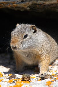 Uinta ground squirrels are borrowers. In the winter these squirrels hibernate, and in the summer they aestivate (become dormant for the summer). Yellowstone National Park, Wyoming, USA, Spermophilus armatus, natural history stock photograph, photo id 13063