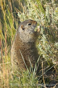 Uinta ground squirrels are borrowers. In the winter these squirrels hibernate, and in the summer they aestivate (become dormant for the summer). Yellowstone National Park, Wyoming, USA, Spermophilus armatus, natural history stock photograph, photo id 13064