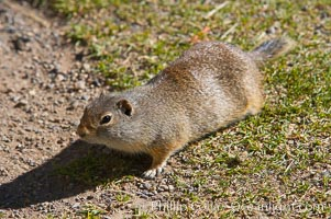 Image 13065, Uinta ground squirrels are borrowers. In the winter these squirrels hibernate, and in the summer they aestivate (become dormant for the summer). Yellowstone National Park, Wyoming, USA, Spermophilus armatus, Phillip Colla, all rights reserved worldwide.   Keywords: animal:creature:mammal:national parks:nature:spermophilus armatus:squirrel:uinta ground squirrel:usa:wildlife:world heritage sites:wyoming:yellowstone:yellowstone national park:yellowstone park.