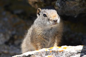 Uinta ground squirrels are borrowers. In the winter these squirrels hibernate, and in the summer they aestivate (become dormant for the summer). Yellowstone National Park, Wyoming, USA, Spermophilus armatus, natural history stock photograph, photo id 13067