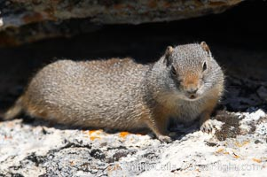 Uinta ground squirrels are borrowers. In the winter these squirrels hibernate, and in the summer they aestivate (become dormant for the summer). Yellowstone National Park, Wyoming, USA, Spermophilus armatus, natural history stock photograph, photo id 13068