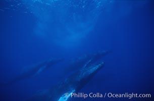 Large competitive group of humpback whales, Megaptera novaeangliae, Maui