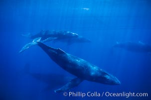 Large competitive group of humpback whales seen underwater, Megaptera novaeangliae, Maui