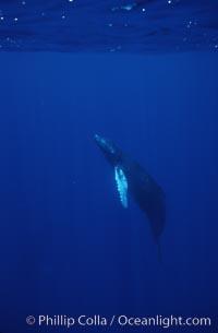Humpback whale calf, Megaptera novaeangliae, Maui