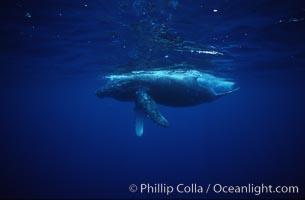 Humpback whale calf. Maui, Hawaii, USA, Megaptera novaeangliae, natural history stock photograph, photo id 04509