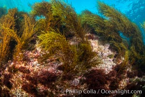 Underwater reef scene, Coronado Islands, Mexico, Coronado Islands (Islas Coronado)