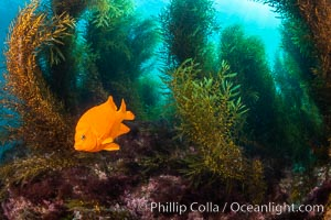 Underwater reef scene, Coronado Islands, Mexico, Hypsypops rubicundus, Coronado Islands (Islas Coronado)