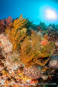 Underwater Reef with Invertebrates, Gorgonians, Coral Polyps, Sea of Cortez, Baja California. Mikes Reef, Baja California, Mexico, natural history stock photograph, photo id 33495